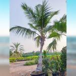 Coco Coconut Palm tree