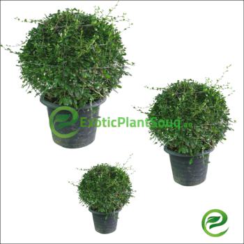 eritrea microphylla Boxes ball | Related image 1300 × 867 Fukien Tea