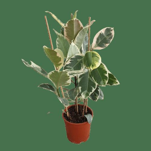 Ficus Elastica Verigated
