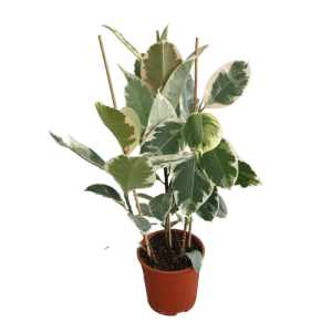 Ficus Elastica Verigated