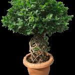 Ficus Panda Jar Shaped
