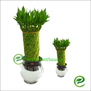 Lucky Bamboo Bowl pot