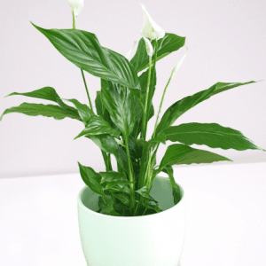 spathiphyllum Peace Lilly plant