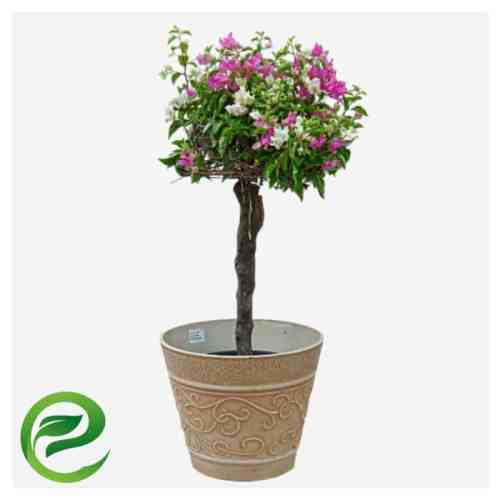"Bougainvillea ""Single Head"" Grafted (Copy)"