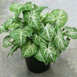 Syngonium podophyllum or Arrow Head Plant 25-30cm