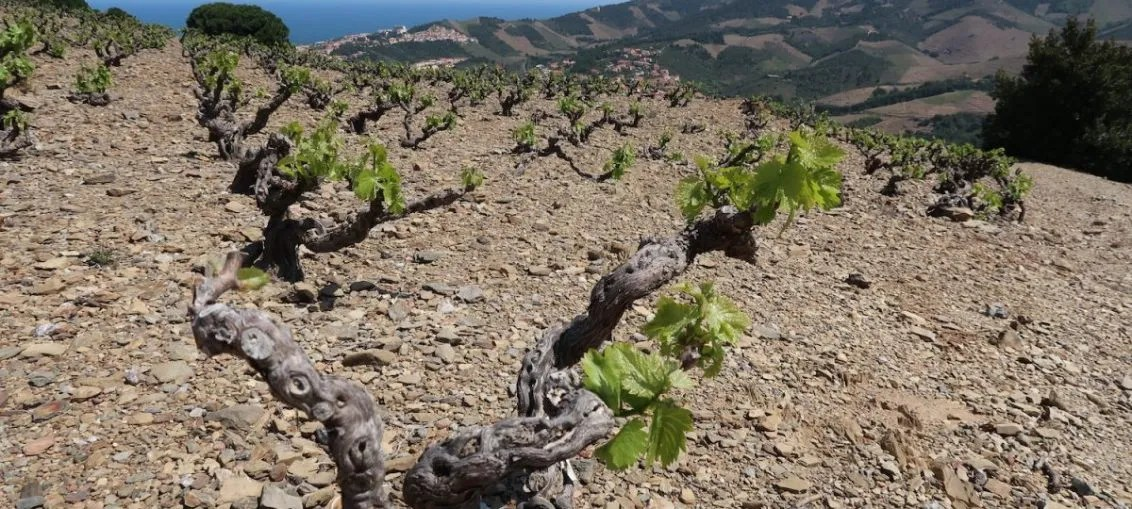 Collioure Vineyards