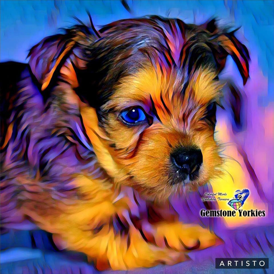 EXOTIC YORKIESBLUE MERLE YORKIE TERRIERSRARE COLORFUL