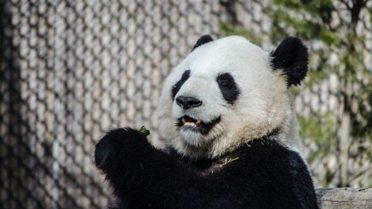 topbos panda higgs domino rp