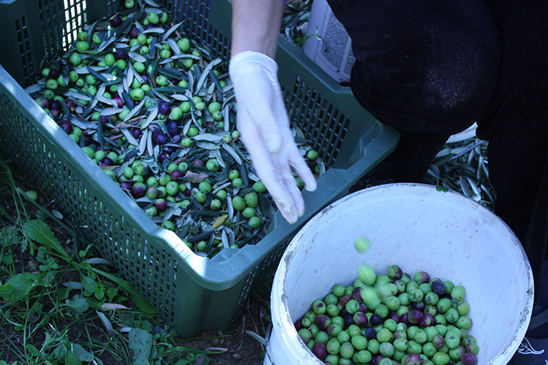 Olive picking in Klis, Croatia