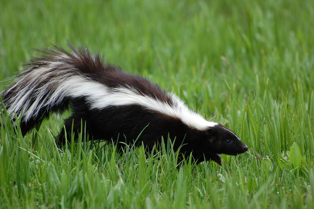 School Lockdown - blame it on the skunk