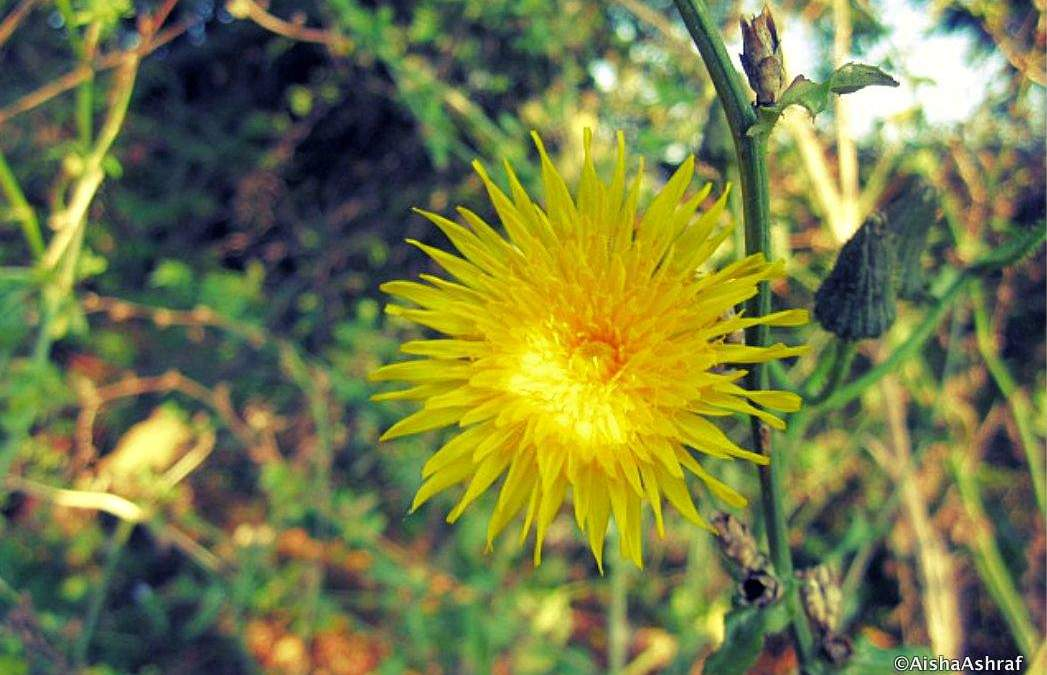 A-Z of Canada: D is for dandelion, Dollarstore and 'due diligence'