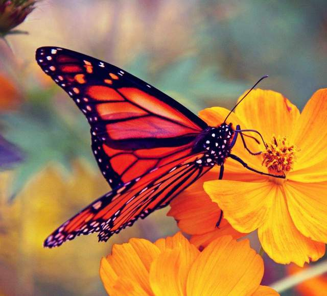 Monarch butterfly on a yellow flower
