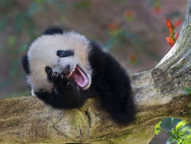 smiling+panda