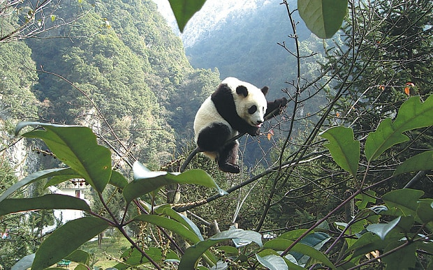 china-watch-pandas_3579237b