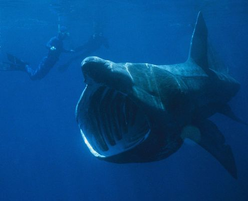 Basking Shark spotted off the Dutch coast!