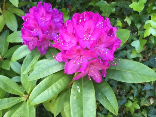 Rhododendrons flowering on June 6