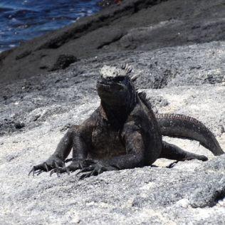 marine leguana