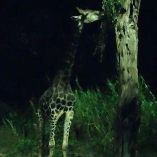 Giraffe bei Nacht