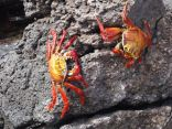 red sallyfoot crabs
