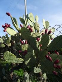 Kaktus-Feigen
