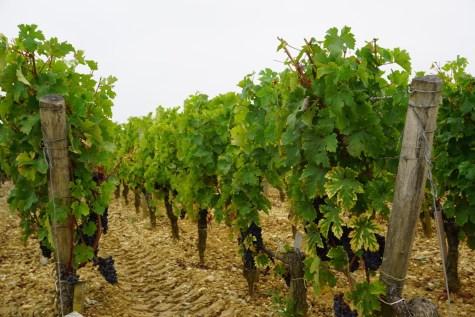 Weinanbau im Médoc