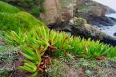 Steinpflanzen in Cornwall