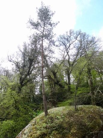 Baum auf Stein, ohne Erde