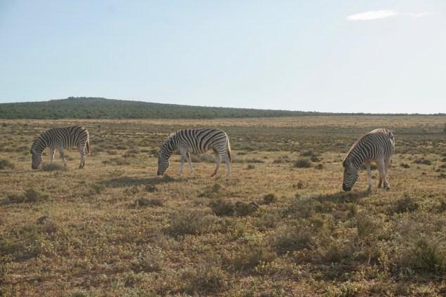 Zebras im Addo Elephant National Park