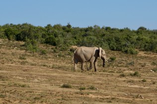 Großer Elefant in Südafrika