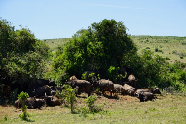 Pause der Büffelherde im Addo Elephant National Park