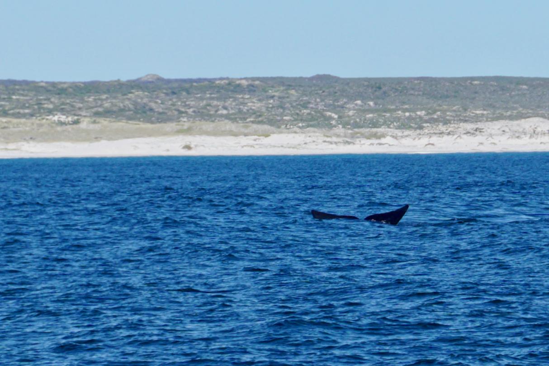 Walflosse in Südafrika