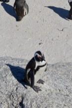 Pinguine wohnen in Afrika