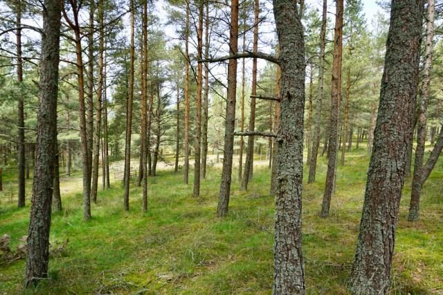 Kiefernwälder an der Ostsee