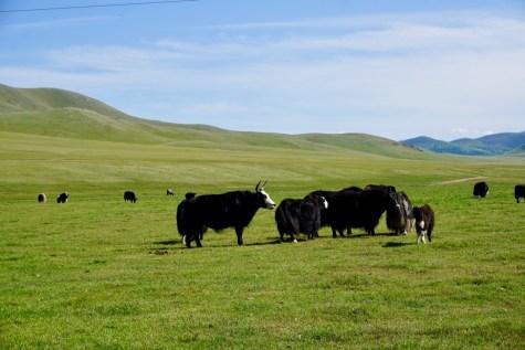 Mongolische Yaks