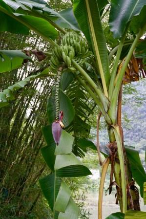 Bananen-Baum mit Früchten