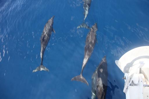 2013-03-31_lasperlas-cocos_dolphins.JPG