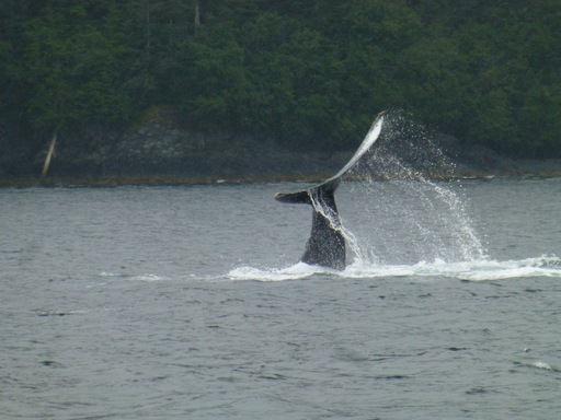 2013-08-16_alaska-whittier_huntback whale.JPG