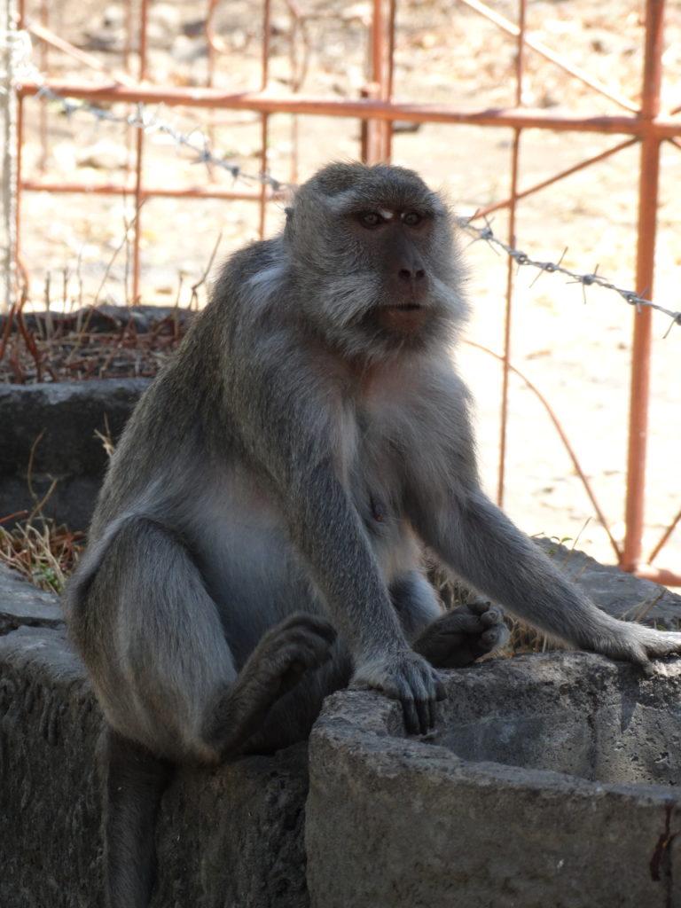 Singe assis contre le temple aux singes