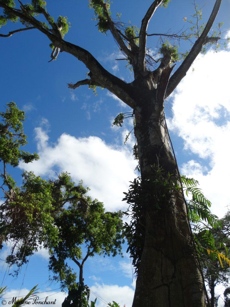 Grand arbre de Guadeloupe