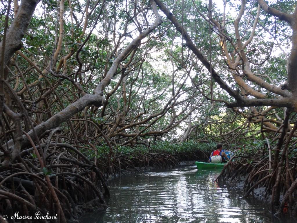 kayak dans la mangrove
