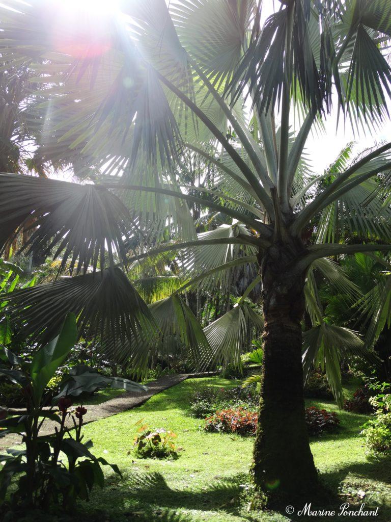 Palmeraie guadeloupe palmier
