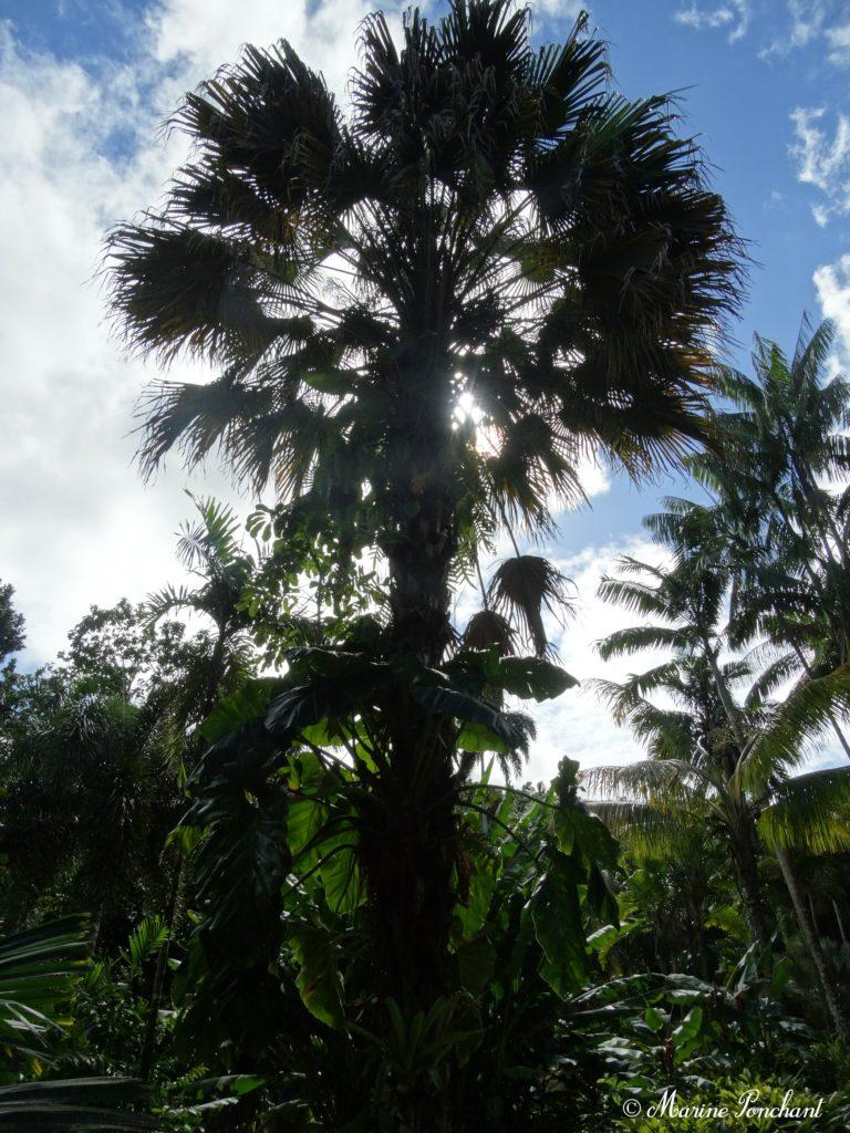 Palmier à huîle