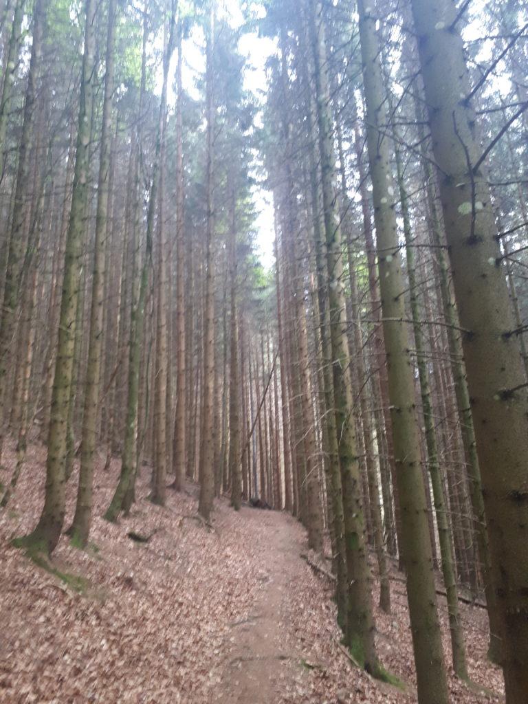 Sentier dans les pins des Vosges