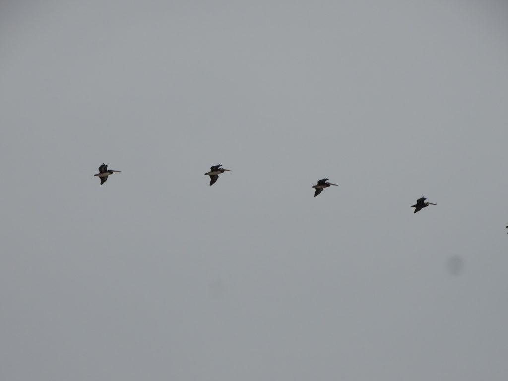 Vol de pélicans noirs