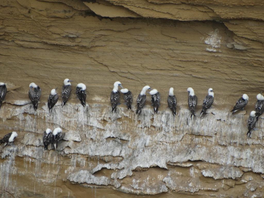 Colonie d'oiseaux Paracas