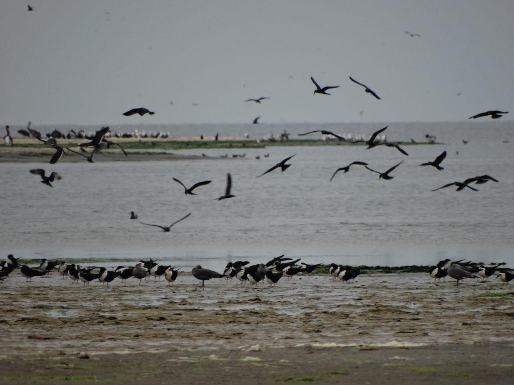 Colonies d'oiseaux marins