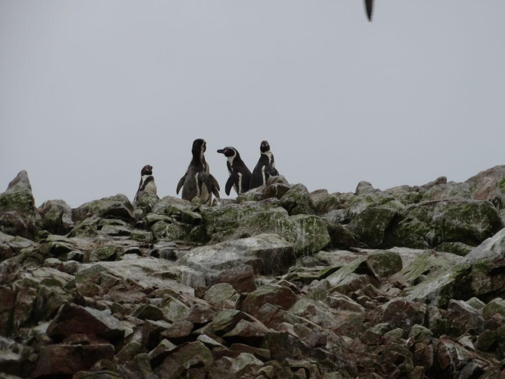 Pingouins de Humboldt
