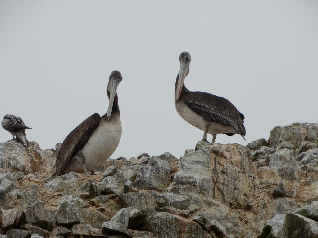 Pélicans noirs Paracas