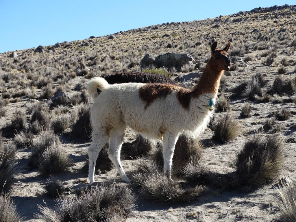 Lama des plateaux andins