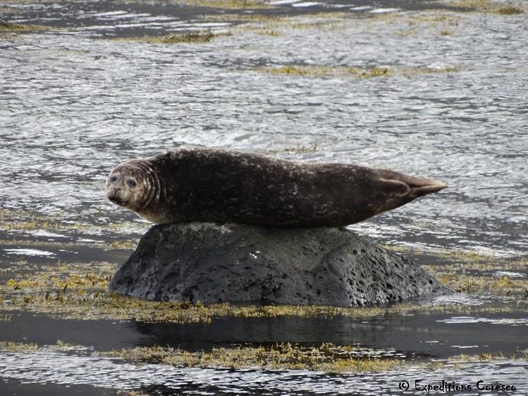 Animaux marins, phoque